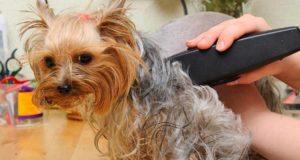 Dog getting a trim