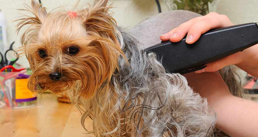 Dog getting a trim